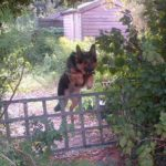Roma the Dog Leaps over fence