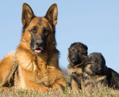 German Shepherd Brood